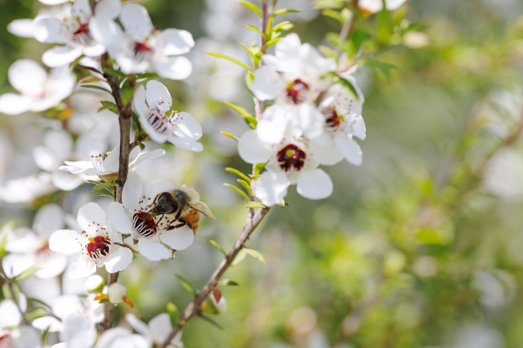 7 Manfaat Madu Manuka Honey Untuk Kesehatan Alami